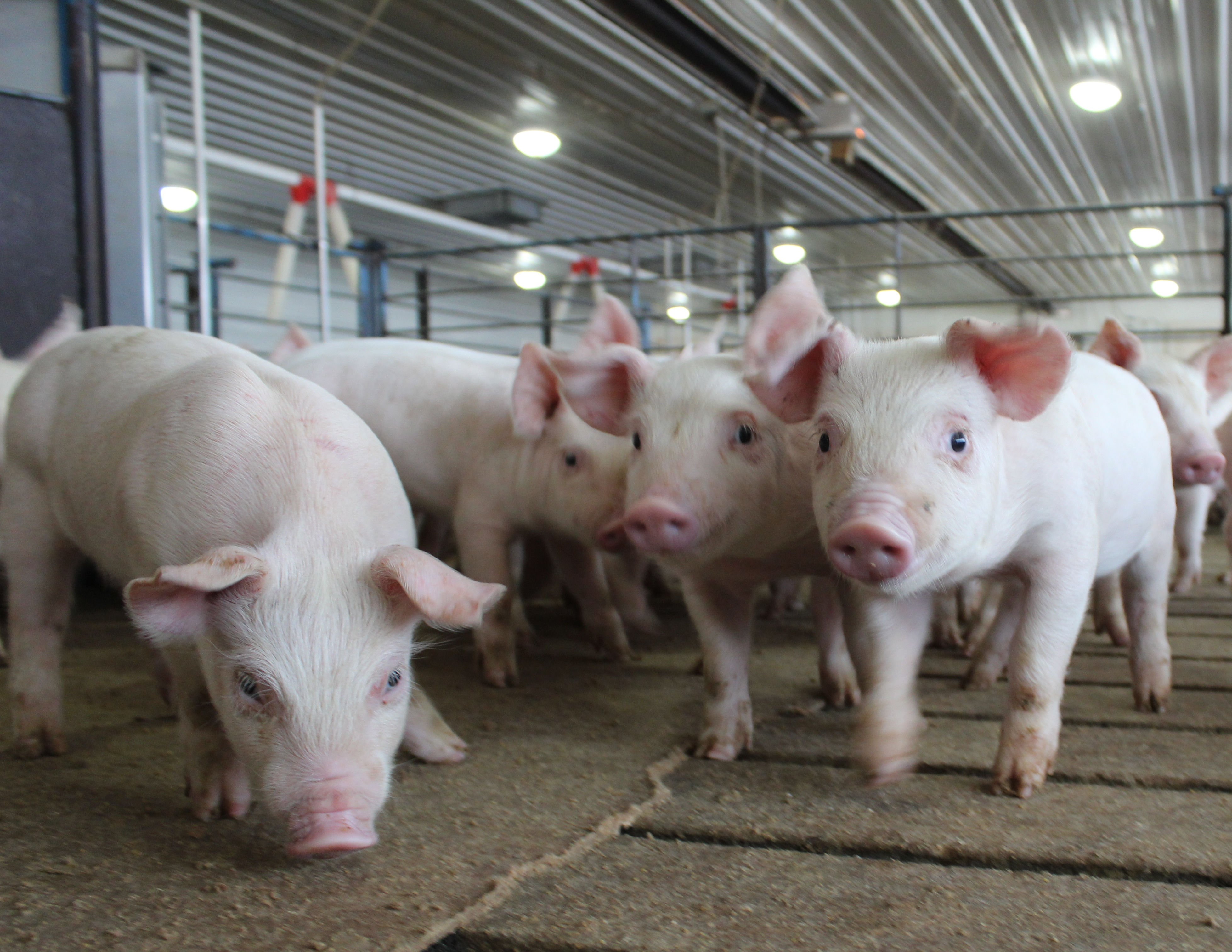 The Fifth Element What Is Lacking For An Efficient Business In Ukrainian Pig Breeding