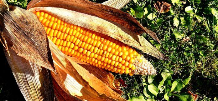 Corn On The Cob 2204702 960 720 696x323