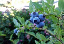 Rubel Blueberry 2918485 1920 218x150
