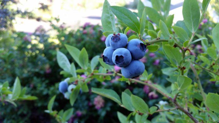 Rubel Blueberry 2918485 1920 696x392