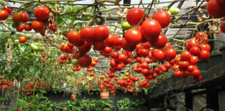 Terrific Tomatoes Grown Hydroponically Or In Soil 324x160