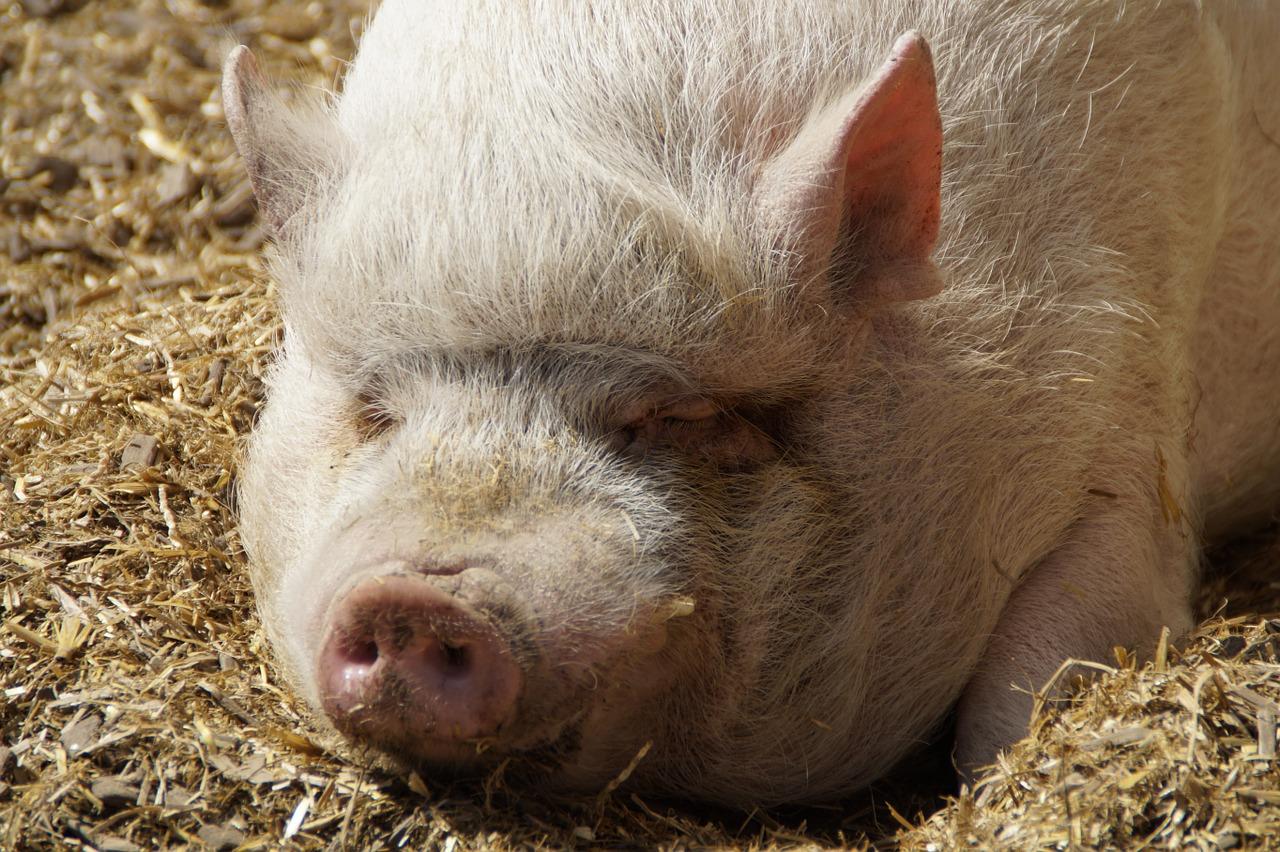 Свиная лопатка что приготовить фото