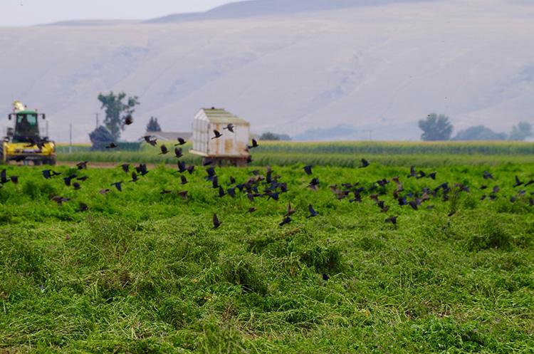 Birds Over Field