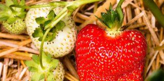 Strawberry 1459567 1280 324x160