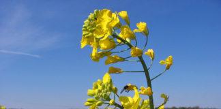 Brassica Napus Flower 324x160