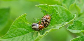 Colorado Beetle Eats A Potato Leaves Young 324x160