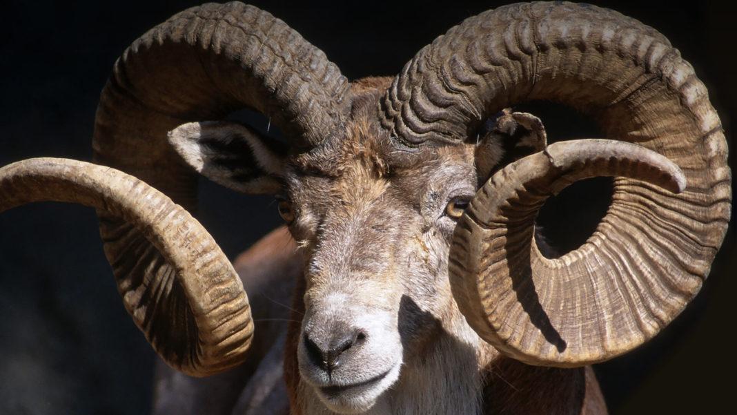Animals Hero Goats Sheep 0 1068x601