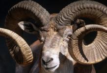 Animals Hero Goats Sheep 0 218x150