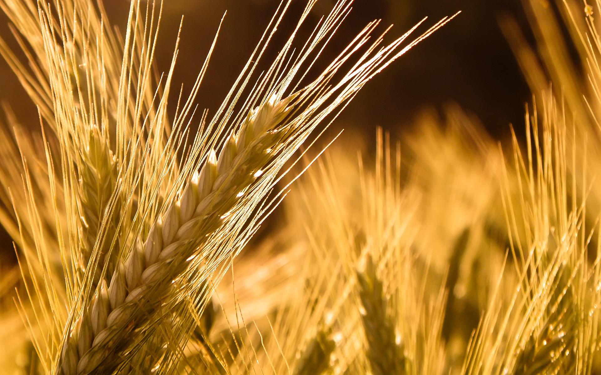 Barley Wallpaper Plants Nature 00431355