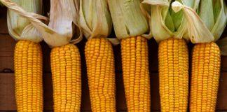 Corn 2691398 1920 324x160