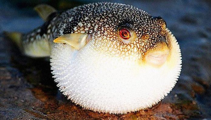 ядовитая рыба фуагра