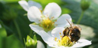 Bee On Strawberry Flower Co Op Farm 324x160
