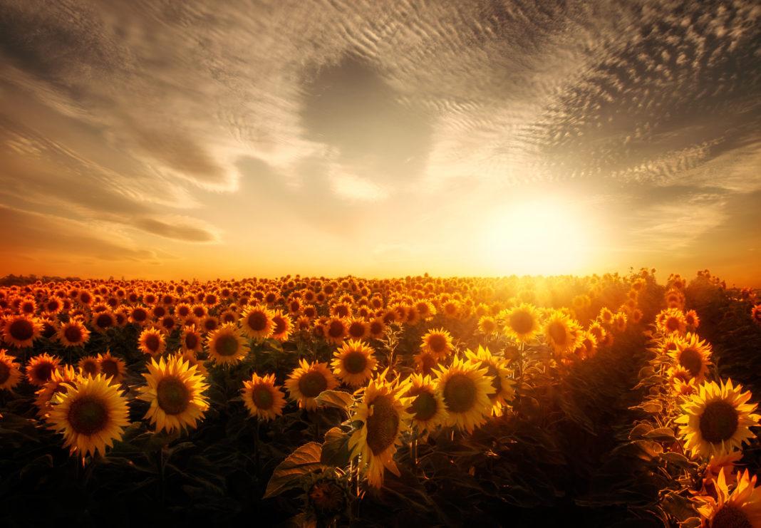Fields Sunflowers Sky 471583 1068x741