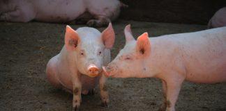 Pig 380055 1920 324x160