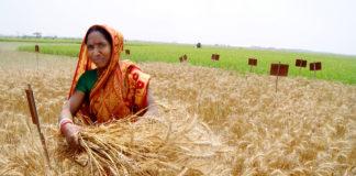 Farmer Harvests Wheat Experiment Bangladesh 3 324x160