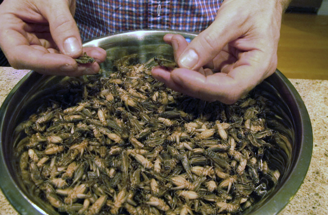 Cricket In The Plate Farmer From Vermont Grows A Singing Chorus Of Protein