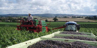 Black Sea Half Of The Berry Plantations In Ukraine Planted With Currants