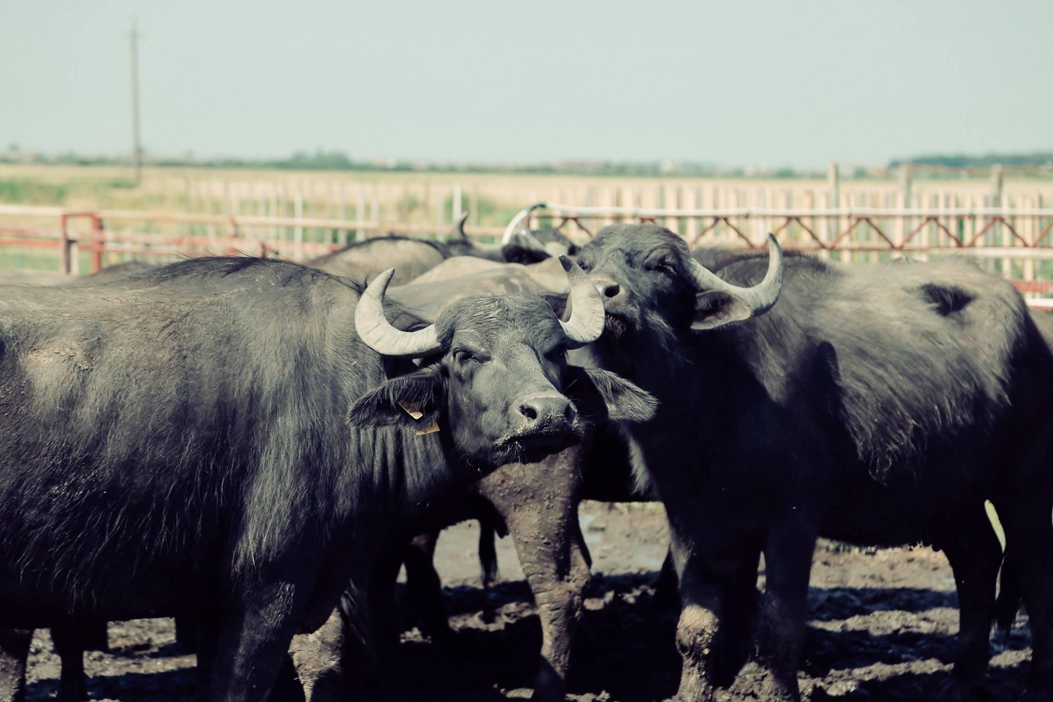 Єдина в Україні ферма, де займаються відродженням закарпатських буйволів, знаходиться на Виноградівщині