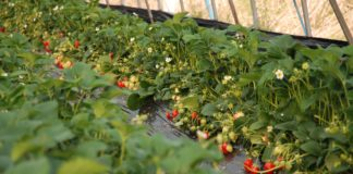 Red Cash One Hectare Greenhouse For Frowing Berries Requires 100 Thousand Of Investment
