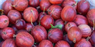 Gooseberry 1534480 1280 324x160