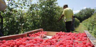 Malina U Srbiji Poljoprivrednemasine Com 324x160
