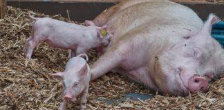 Pig 3386335 1280 324x160