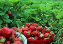 Black Day Many Producers Will Get Rid Of The Plantations Of Black Currant And Not Only In Ukraine