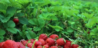 Strawberries 1467902 1280 324x160