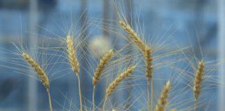 Wheat 324x160