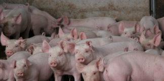 1280 175602044 Curious Pigs 324x160