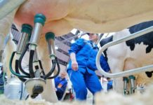 Sour News Ukraine Squeezes 10 Million Tons Of Milk But Processors Will Get Only 4 Million Tons