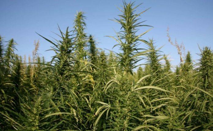 План конопля фото факты о марихуане в канаде