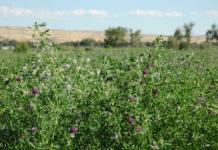 Alfalfa Full Bloom 2 218x150