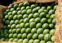 Barged A Barge With Watermelons Broke Prices In Kiev From 8 To 3 Uah Kg