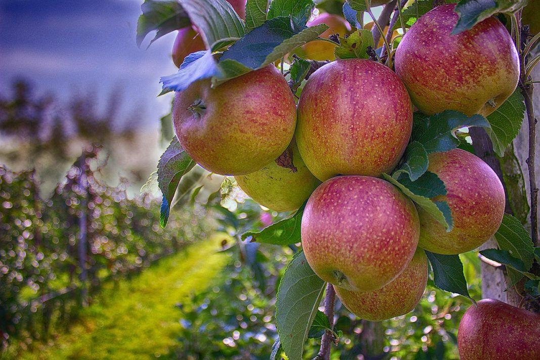 Apples 490475 1280 1068x712