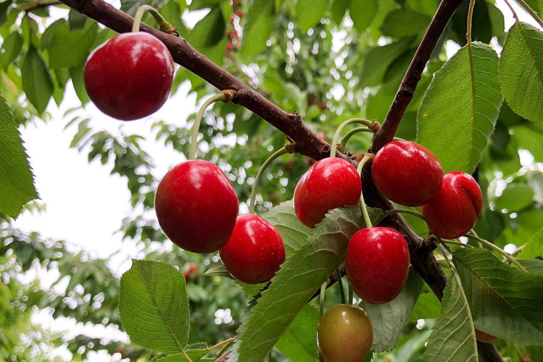 Cherry Tree1188x792 125ppi 1188x792 1068x712