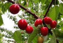 Cherry Tree1188x792 125ppi 1188x792 218x150