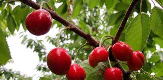 Cherry Tree1188x792 125ppi 1188x792 324x160