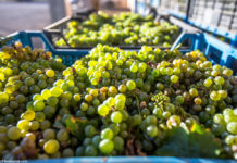Thumbs Up Ukraine Has Every Chance Of Becoming An Exporter Of Table Grapes
