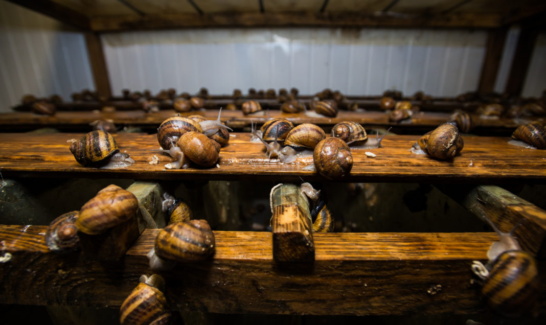 Snail Races In 2019 In Ukraine May Open Up To 150 Snail Farms