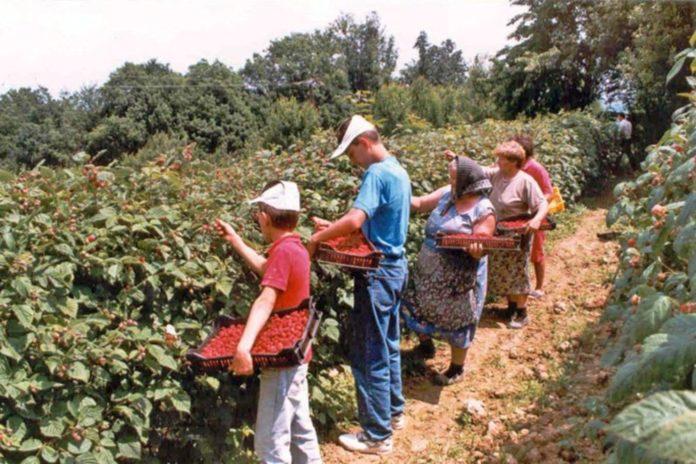 Фермери Херсонщини влаштували розпродаж ягід прямо з кущів