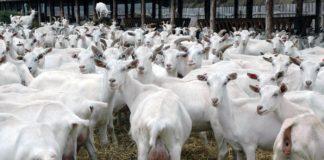 Herd Of Goats Saanen 324x160