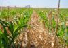No Till Corn 2 100x70