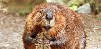 Beaver22 324x160
