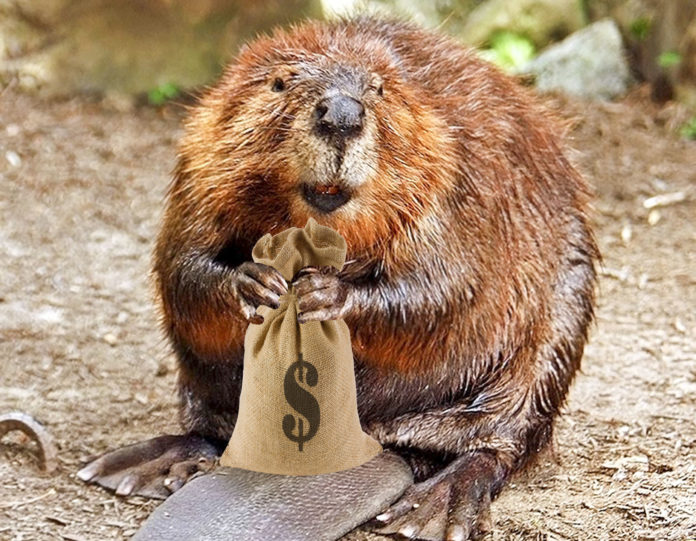 Beaver22 696x541
