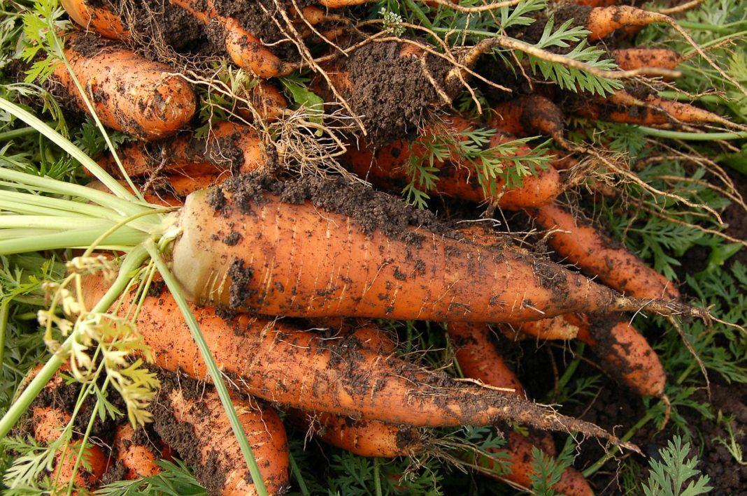 Carrot 551661 1280 1068x710