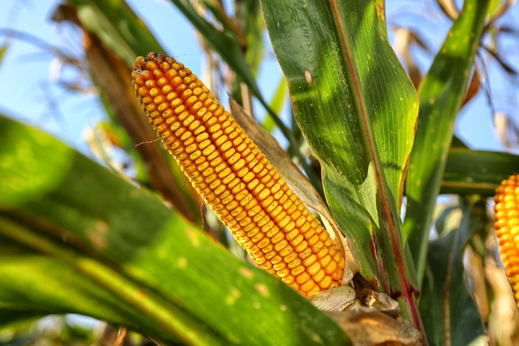 Give It To China Ukraine Can Increase Corn Exports To China By 10