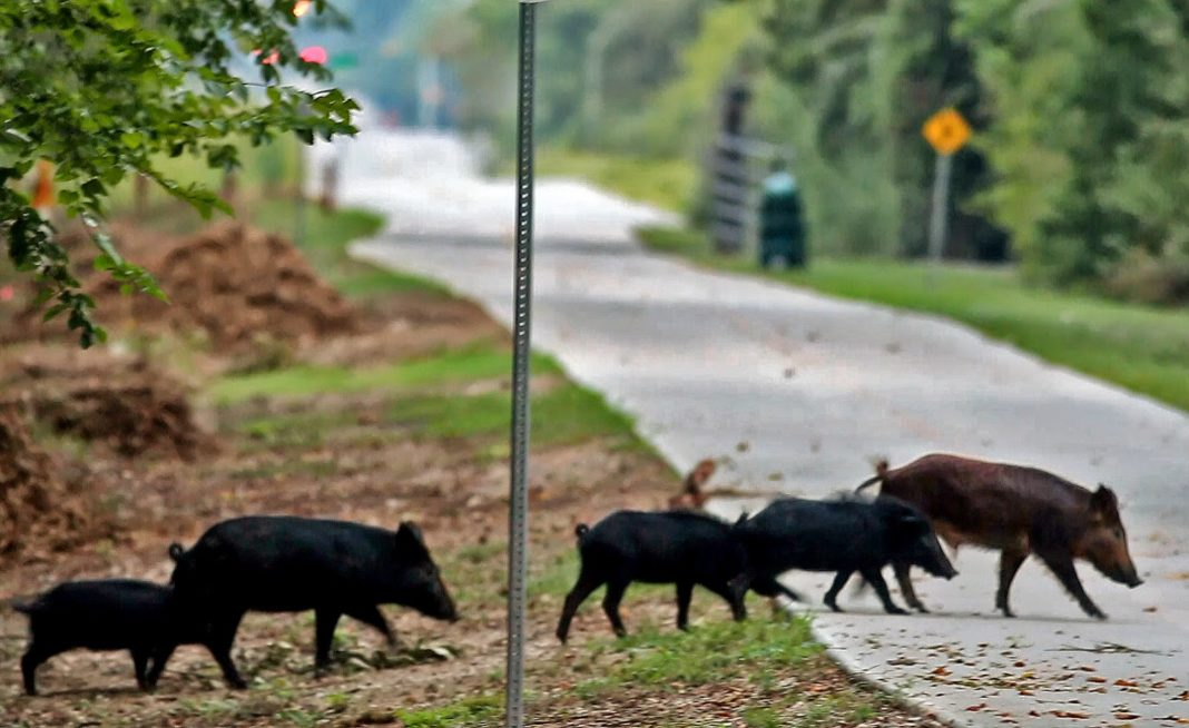 To Copenhagen Denmark Is To Wall Off The Wild Boars That Have Already Reached Berlin