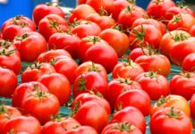 Fresh Harvested Tomatoes 3505325 1280 218x150