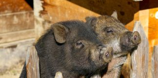 Potbelly Pigs 2872531 1280 324x160
